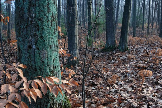 Beech leaves contrast with the moss-covered oak in the woods.