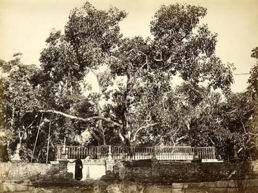 Sri Maha Bodhi- Anuradhapura