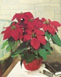 How to Grow and Care for Poinsettias