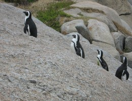 African Penguins at Boulders Beach Cape of Good Hope, SA