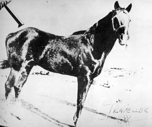 "Traveler was a famous foundation sire of the breed ""Quarter Horse."""
