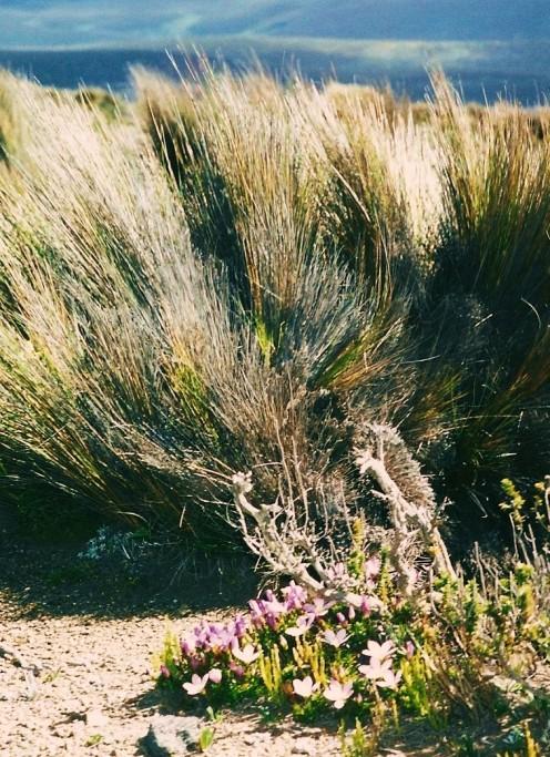 Tall paramo grass