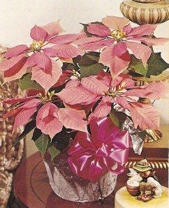 Pink euphorbia pulcherrima.
