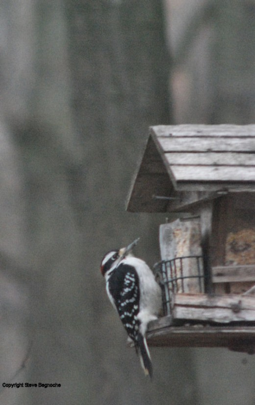 A hairy woodpecker sat at the feeder for about 10 minutes this afternoon.