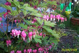 Bleeding hearts look great and offer great shelter for frogs and toads in the spring