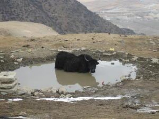 Yak in a bath