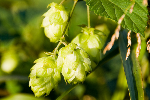 Hops is an effective natural sleep aid.