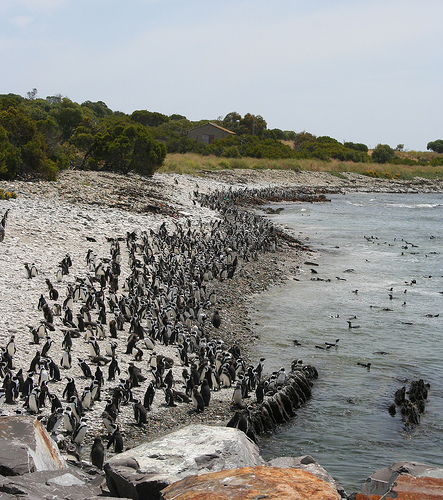 Robben Island Penguins