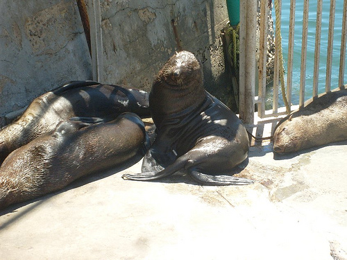 Robben Island Seals