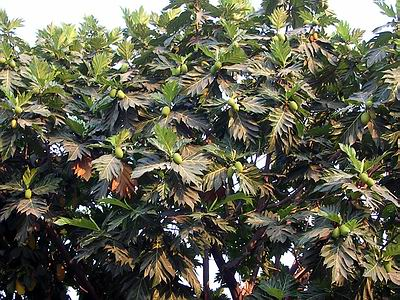 This is the Breadfruit Plant with lots of Breadfruit which will soon be ready for reaping.