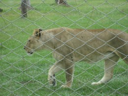 Lion at Lion Country Safari