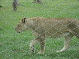 Lion at Lion Country Safari