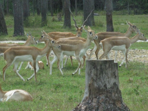 Blackbuck - more abundant in captivity than in the wild