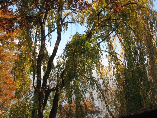 Weeping Willow to the West