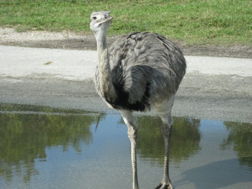 Rhea (South America) - 4th largest of all birds; males build the nest, incubate the eggs and raise the young!
