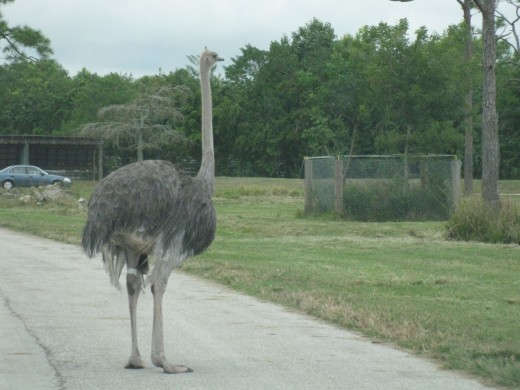 Ostrich - world's largest living bird (up to 8' in height); contents of one ostrich egg = 2 dozen chicken eggs!