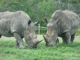 Southern White Rhinoceros weigh up to 2.5 tons