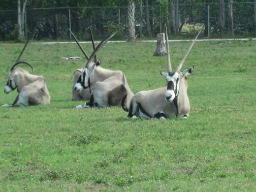 Gemsbok - adapted to go long periods of time with little or no water