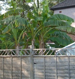 Bananas in a garden in Ely