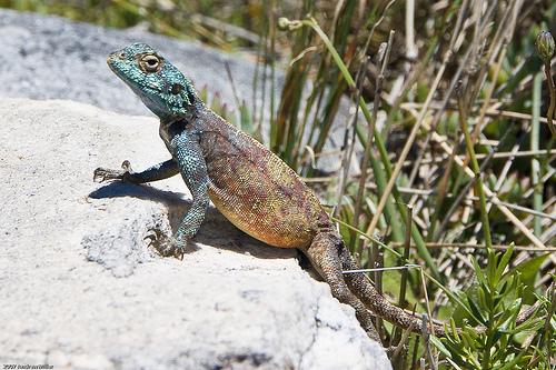 Lizard on Table Mountain