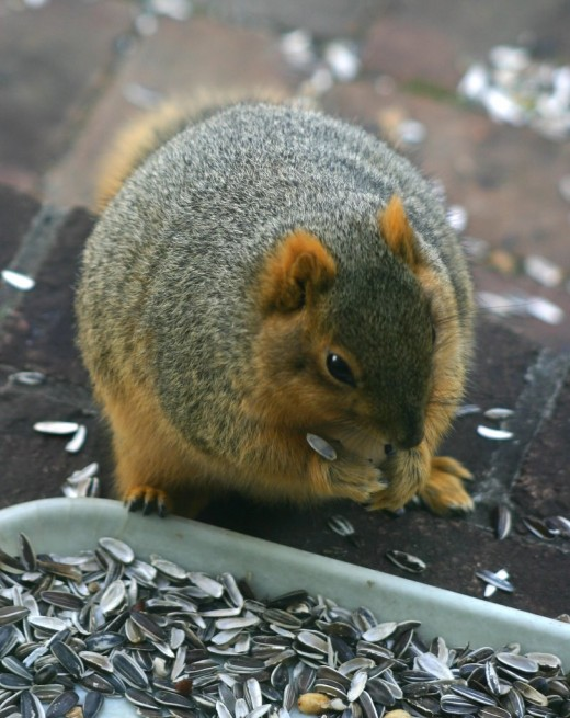 Fat Squirrel   deedsphoto