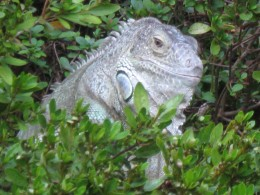 Iguana that did not belong in VA - I bet he spoke with a Southern accent - He measured 3 ft long, found him crawling in our garden this summer. Neighbors loved him.