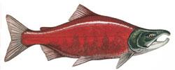 Sockeye ctsy salmonnation.com