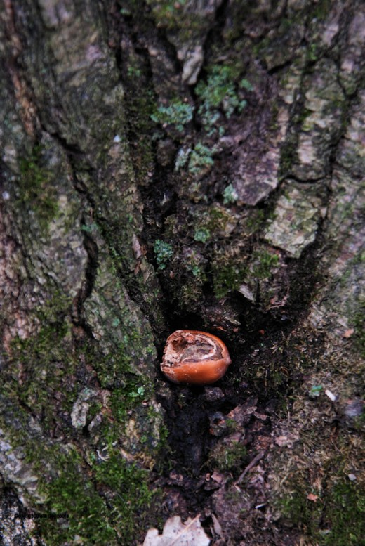 A partially eaten acorn rests in a hollow of a tree.