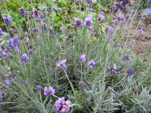 lavender plants. You can raise lavender from seed for a hedge but if you only want one plant then buy in ready grown.