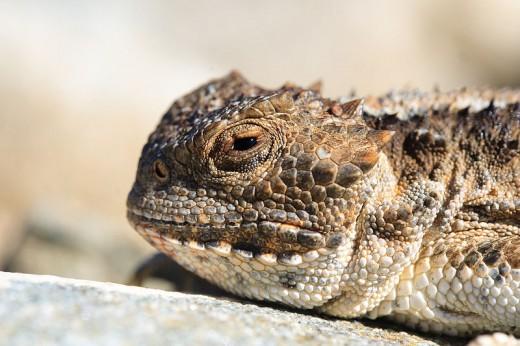 Texas Horny Toad (Photo credit: Wikimedia Commons)