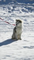 Snowshoeing With Malamutes And Other Dogs - What Tips And Gear Do You Need?