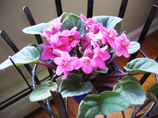 African violets in cast iron stand we bought at garage sale. Bob Ewing photo