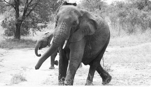 Elephant Swinging It's Trunk