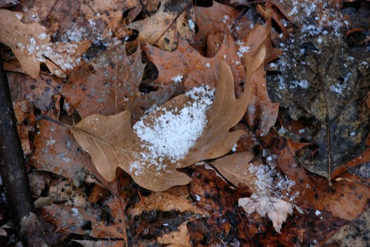 Flakes of snow are cupped in a hollow of a mat of oak leaves. The first snow of the year lightly covered the yard by night