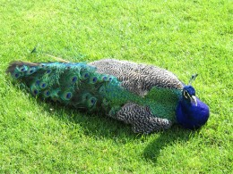 This is the picture I took of a peacock at the Scone Palace in Scotland Summer 2009