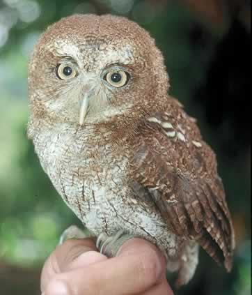 Owls are nocturnal predators or night hunters.They have large heads, forward looking eyes, fly silently and swallow their food whole.