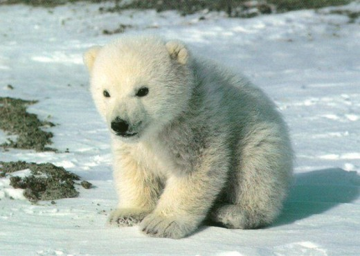 Environmental action groups constantly send out messages requesting to save the polar bears featuring pictures of these beautiful animals dying from ice melting around them