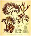 Irish Moss    herbdat.anz.com