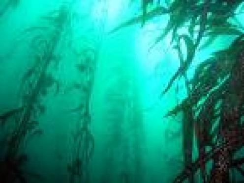Kelp    scubascotty.com