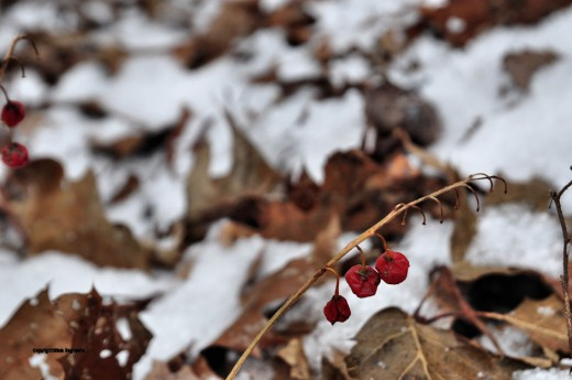 Red berries shriveled and turned raisin-like with the arrival of snow and a day of sub-freezing temperatures.