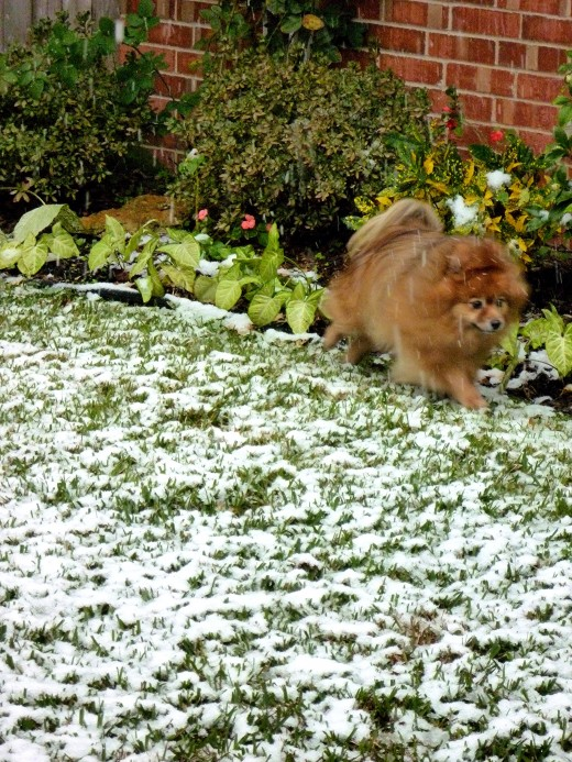 My mother's dog Skippy wondering what is all that white stuff? Snow in Houston, Texas!