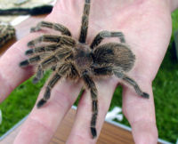 Baby Rose Hair Tarantula