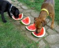 The Danger of Feeding Dogs Table Scraps