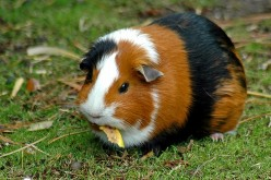 Guinea pigs as pets