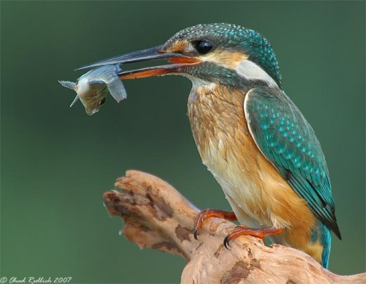 The kingfisher is a Schedule one species--- photograph by Ohad Redlich
