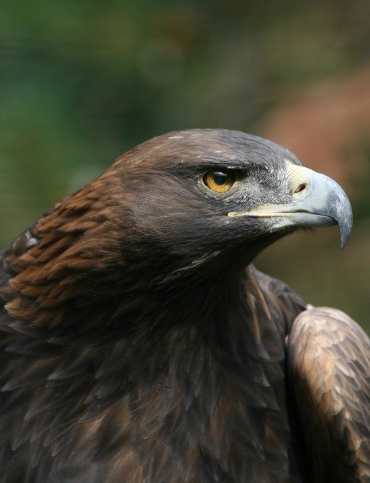 The magnificent golden eagle is another fully protected species. photograph by Richard Bartz