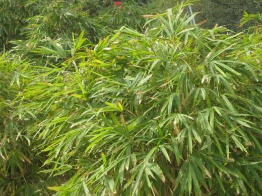 Green Bush of Bamboo