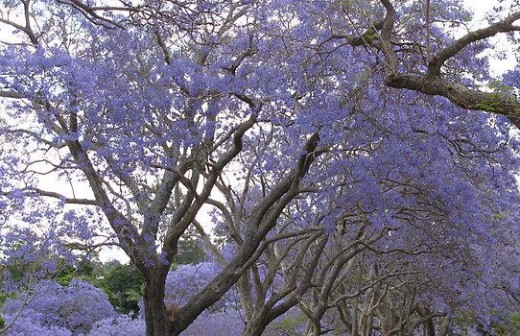 St George's Spectacular Jacaranda Trees