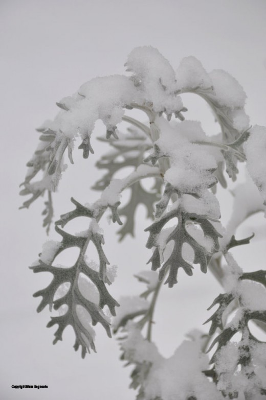 Dusty Miller is a domestic plant that hangs around late in the season. Today it looks like a ghostly Snowy Miller.
