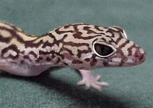 Belize Banded Gecko - This looks very similar to my Leopard Gecko, its got that combination of cute looking and mean looking.